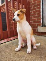 Canaan Dog Puppies Photos