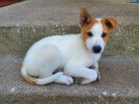 Canaan Dog Puppies for sale in Glen Ellyn, IL 60137, USA. price: NA