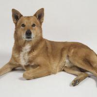 canaan dog dog