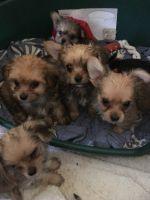 Canadian Eskimo Dog Puppies Photos