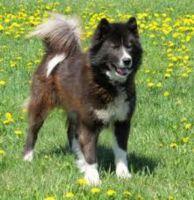canadian eskimo dog dog