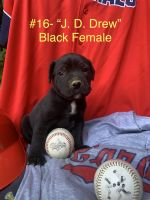 Cane Corso Puppies for sale in Jefferson City, MO, USA. price: NA