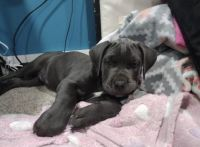 Cane Corso Puppies for sale in Westfield, IN, USA. price: NA
