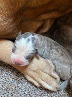 Cane Corso Puppies for sale in HUNTINGTN STA, NY 11746, USA. price: NA