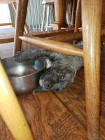 Cane Corso Puppies for sale in Monmouth, OR, USA. price: NA