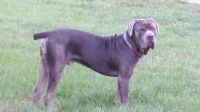 Cane Corso Puppies for sale in Clearwater, FL, USA. price: NA