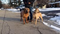 Cane Corso Puppies for sale in Merrillville, IN, USA. price: NA