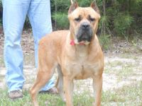 Cane Corso Puppies for sale in Austin, TX, USA. price: NA
