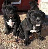 Cane Corso Puppies for sale in Pompano Beach, FL, USA. price: NA