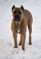 Cane Corso Puppies for sale in Albany, NY, USA. price: NA