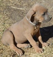 Cane Corso Puppies for sale in Longmont, CO, USA. price: NA