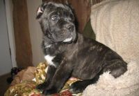 Cane Corso Puppies for sale in Toledo, OH, USA. price: NA