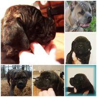 Cane Corso Puppies for sale in San Luis Obispo, CA, USA. price: NA