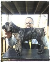 Cane Corso Puppies for sale in West Jordan, UT, USA. price: NA