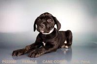 Cane Corso Puppies for sale in Chula Vista, CA, USA. price: NA