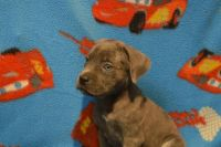 Cane Corso Puppies for sale in Hollywood, FL, USA. price: NA