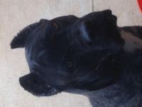 Cane Corso Puppies for sale in Boulder, CO, USA. price: NA