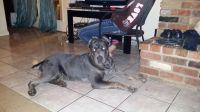 Cane Corso Puppies for sale in Cincinnati, OH, USA. price: NA