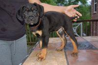 Cane Corso Puppies for sale in Macon, GA, USA. price: NA