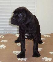 Cane Corso Puppies for sale in Huntsville, AL, USA. price: NA