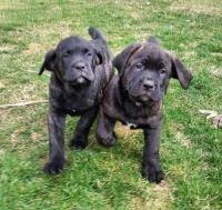 Cane Corso Puppies for sale in Kansas City, KS, USA. price: NA