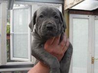 Cane Corso Puppies for sale in Corona, CA, USA. price: NA