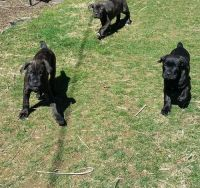Cane Corso Puppies for sale in Anaheim, CA, USA. price: NA