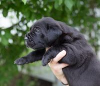 Cane Corso Puppies for sale in Daly City, CA, USA. price: NA