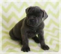 Cane Corso Puppies for sale in Albuquerque, NM, USA. price: NA