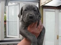 Cane Corso Puppies for sale in Bakersfield, CA, USA. price: NA