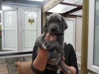 Cane Corso Puppies for sale in Berlin Township, OH, USA. price: NA