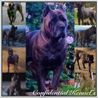 Cane Corso Puppies for sale in Riverside, CA, USA. price: NA