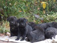 Cane Corso Puppies for sale in Lincoln, NE, USA. price: NA