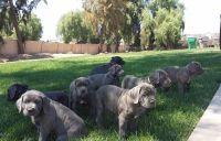 Cane Corso Puppies for sale in Rialto, CA, USA. price: NA
