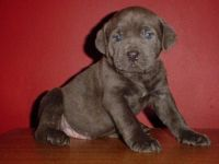 Cane Corso Puppies for sale in Pittsburgh, PA, USA. price: NA