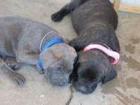 Cane Corso Puppies for sale in Oklahoma City, OK, USA. price: NA