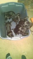 Cane Corso Puppies for sale in Erie, PA, USA. price: NA