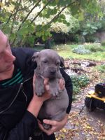 Cane Corso Puppies for sale in Fort Wayne, IN, USA. price: NA