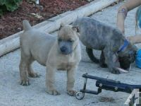 Cane Corso Puppies for sale in Carlsbad, CA, USA. price: NA