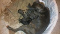 Cane Corso Puppies for sale in Arlington, TX, USA. price: NA