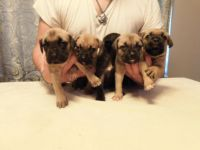 Cane Corso Puppies for sale in Palm Bay, FL, USA. price: NA