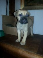 Cane Corso Puppies for sale in Lakeview, OH 43331, USA. price: NA