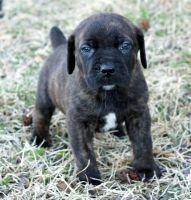 Cane Corso Puppies for sale in Atlanta, GA, USA. price: NA