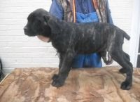 Cane Corso Puppies for sale in Boise, ID, USA. price: NA