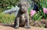 Cane Corso Puppies for sale in Dover, DE, USA. price: NA