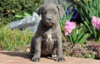 Cane Corso Puppies for sale in Springfield, IL, USA. price: NA