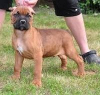 Cane Corso Puppies for sale in Beaver Creek, CO 81620, USA. price: NA
