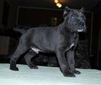 Cane Corso Puppies for sale in Colorado Springs, CO, USA. price: NA