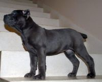 Cane Corso Puppies for sale in Baldwinsville, NY 13027, USA. price: NA
