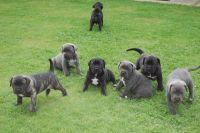 Cane Corso Puppies for sale in Delaware City, DE, USA. price: NA